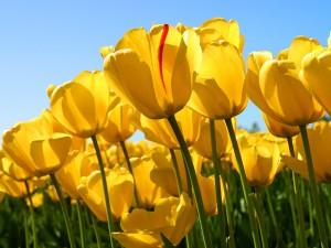 tulips 300x225 - תודה מקרב לב לכל המברכים והמתפללים